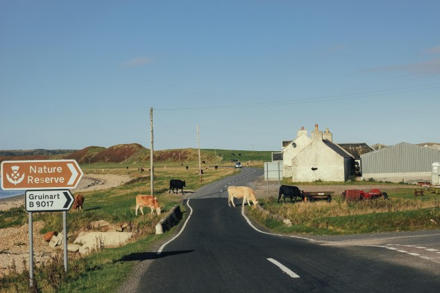 Islay cows and landscape-14