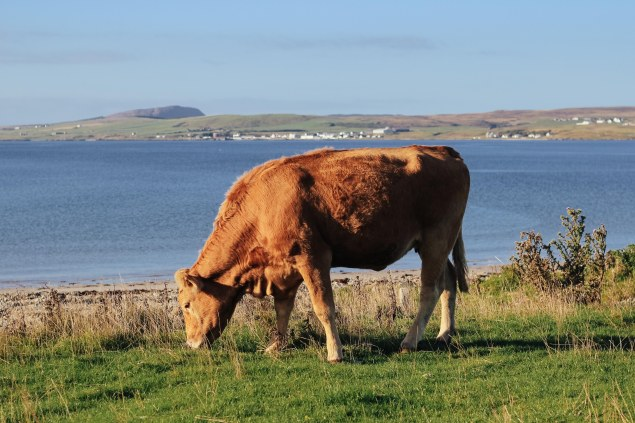 Islay cows and landscape-15