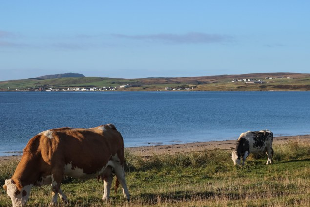 Islay cows and landscape-17