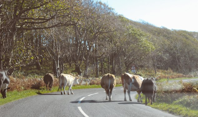 Islay cows and landscape-20